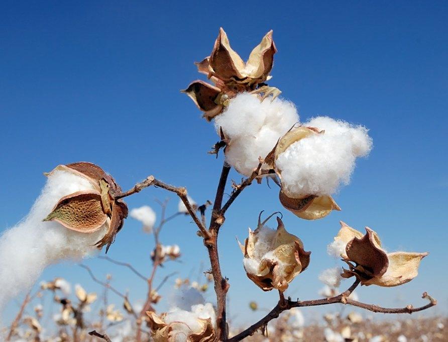 Raw Denim Term - Pima Cotton
