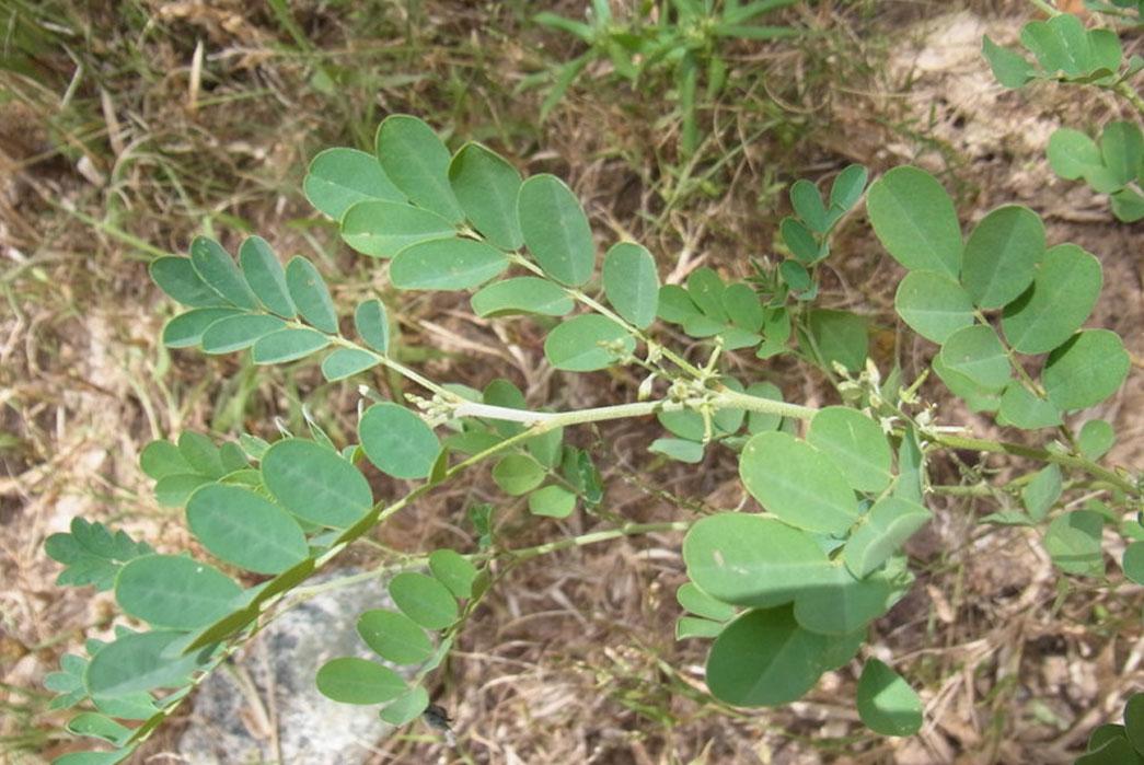 Indigofera tinctoria plants. Image via Africa Museum.
