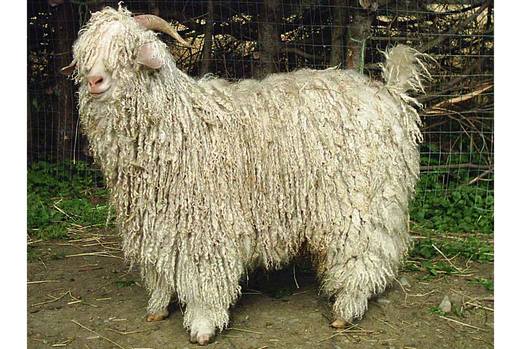 know-your-wools-cashmere-lambswool-angora-and-more-mohair-sheep-image-via-t-ray-woolies