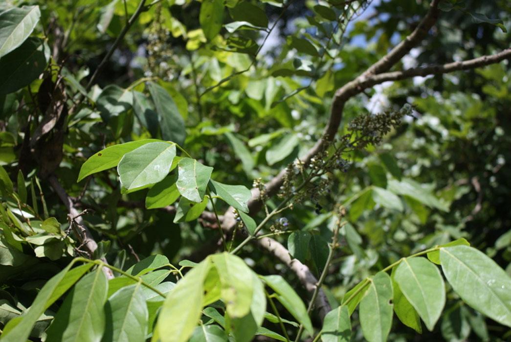 lonchocarpus-cyanescens