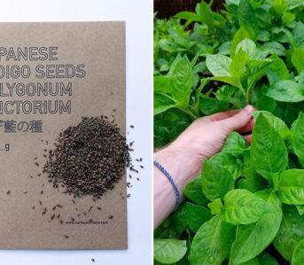 grow-your-own-indigo-plants-with-curious-corners-japanese-indigo-seeds-bag-and-plant