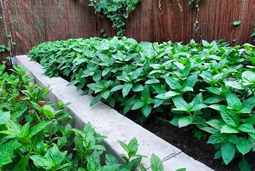 grow-your-own-indigo-plants-with-curious-corners-japanese-indigo-seeds-plants