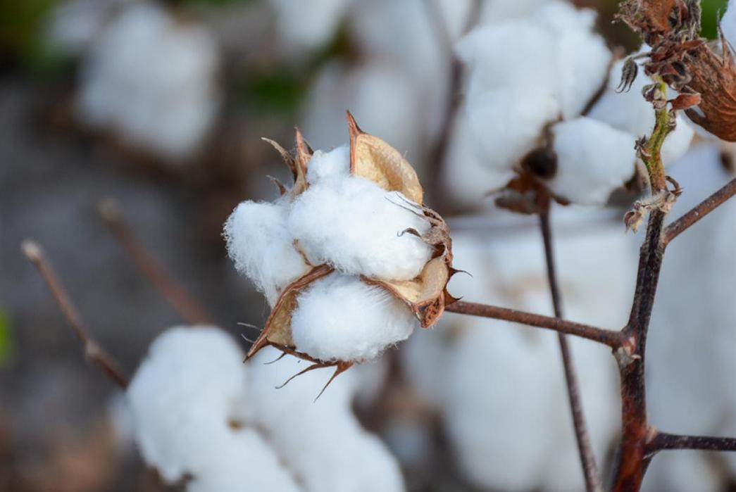 Cotton-boll-Valley-southwest-farm-press