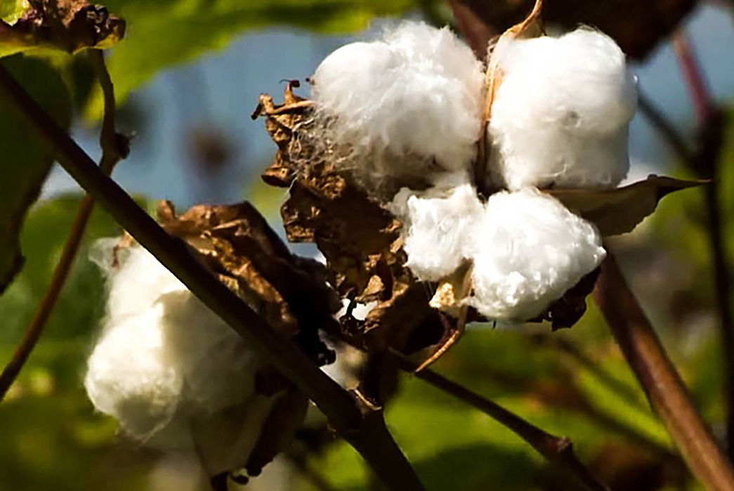 The-Types-of-Cottons-You-Should-Know-Sea-Island-Cotton.-Image-via-Proper-Cloth.