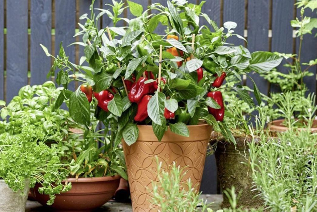 Home-Grows-Growing-New-Life-From-Your-Throwaways-Chili-Plant-via-Irish-News